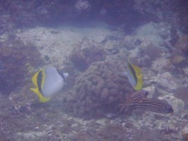 yellow and black fish