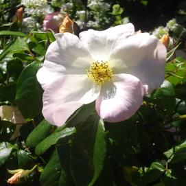 botanic gardens flower white