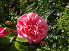 botanic gardens dark pink rose