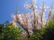 botanic gardens pink blossoms